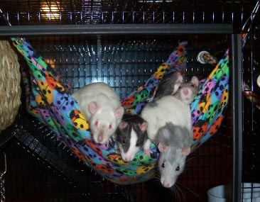 just how many rats  can  you fit in one hammock  happy customers   rh   dearpiehammocks